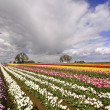 The Tulip Fields of Oregon — Stock Photo