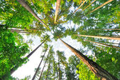 Beautiful Tall trees of Oregon — Stock Photo