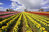 The beautiful Tulip Fields of Oregon — Stock Photo
