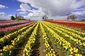 The beautiful Tulip Fields of Oregon — Stock Photo