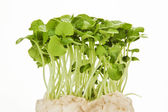 Alfalfa sprout — Stock Photo