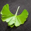 Fresh ginkgo. — Stock Photo