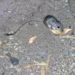 Wild Kangaroo Rat — Stock Photo #27354169