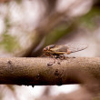 Stock Photo: Cicadon Branch