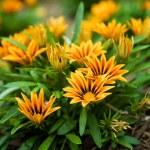 Gaillardia flowers — Stock Photo #43647509