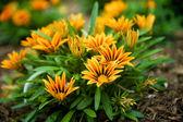 Flores gaillardia — Foto de Stock