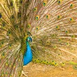 Very beautiful peacock beautiful nature in great conditions with flowing tail — Stock Photo