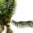 Coconut tree — Stock Photo #40069435