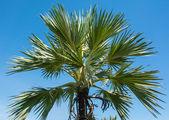 Big high plam tree — Stockfoto