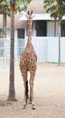 Giraffe (Giraffa cameleopardalis — Stock Photo