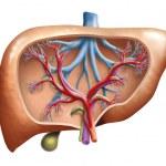 Human Liver — Stock Photo #27449337