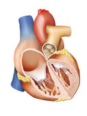 Human Heart Cross Section — Stock Photo