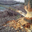 Beaver Tree Damage — Stock Photo