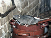 Rat on cooking pots — Stock Photo