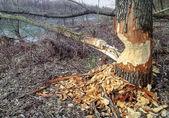 Beaver Tree Damage — Stock Photo