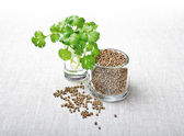 Coriander Leaves And Seeds - Cilantro — Stock Photo