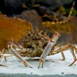 Huge alaskan king crab stands in the aquarium — Stock Photo