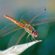 Dragonfly holding leaf — Stock Photo