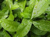 Raindrops on leaves — Stock Photo