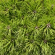 Coniferous branches — Stock Photo