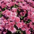Pink chrysanthemums — Stock Photo #31395635