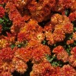 Foto Stock: Chrysanthemums