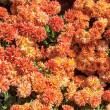 Стоковое фото: Carpet from chrysanthemums
