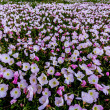 Stock Photo: Incredible Wide Angle View of Meadow Teeming with Hundreds of Texas Pink Evening Primrose Wildflowers as Far as Eye cSee.