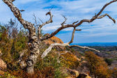 A Twisted Gnarly Dead Tree on Enchanted Rock, in the Texas Hill Country. — Stock Photo