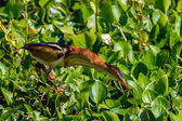 A Wild Least Bittern with Fully Extended Neck Hunting for Food in the Swampy Waters of Brazos Bend, Texas. — Stock Photo