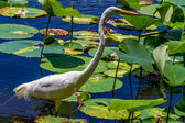 A Beautiful Shot of a Wild Great White Egret Wading Among American Lotus Water Lilies, Texas. — Stock Photo