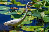 Piękny strzał z dzikich czapla biała brodząc wśród amerykańskich lotos lilie wodne, teksas. — Zdjęcie stockowe