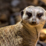 Closeup Shot of a Curious African Meerkat Cat-like Animal. — Stock Photo