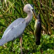 A Beautiful Wild Great Blue Heron Bird in the Process of Catching a Very Big Lunch.  Texas. — Stock Photo