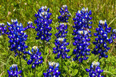 A Closeup Shot of a Cluster of Famous Texas Bluebonnet (Lupinus texensis) Wildflowers. — Stock Photo