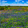 A Beautiful Wide Angle Panoramic View of a Texas Field Blanketed with the Famous Texas Bluebonnet — Stock Photo #29006039