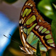 Beautiful Iridescent Green Butterfly — Stock Photo #29007145
