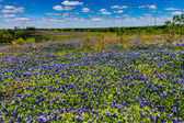 A Beautiful Wide Angle View of a Texas Field Blanketed with the Famous Texas Bluebonnet — Stock Photo