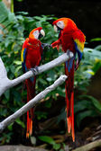 Two Scarlet Macaws in a Discussion About Keeping their Distance. — Stock Photo