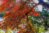 Brilliant Red Foliage on Maple Tree in Lost Maples State Park, Texas. — Stock Photo