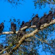 A Group of Turkey Vultures (Cathartes aura), also known as buzzards, socializing in a tree roost at Brazos Bend, Texas. — Stock Photo