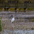 A Great White Egret, (Ardea alba), Out Hunting for a Meal Near an Old Fishing Pier at Brazos Bend, Texas — Stock Photo