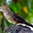 Постер, плакат: A Striking Pose of a Guira Cuckoo Bird Guira guira or A Puffy Fluffy Bird with Orange Beak