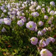Stock Photo: Closeup of Cluster of Texas Pink Evening or Showy Evening Primrose Wildflowers.