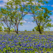 A Beautiful Wide Angle Shot of a Field with Trees and Fence Blanketed with the Famous Texas Bluebonnet Wildflowers — Stock Photo #31047041