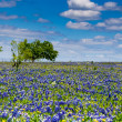 A Beautiful Wide Angle Shot of a Field Blanketed with the Famous Texas Bluebonnet Wildflowers — Stock Photo #31047045