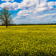 Wide Angle Shot of a Field of Beautiful Bright Yellow Flowering Canola (Rapeseed) Plants Growing on a Farm in Oklahoma with Blue Skies, Clouds, and a Tree. — Stock Photo