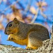 Closeup of a Squirrel in a Tree Eating a Nut in a Wooded Area in the Fall. — Stock Photo #31047243