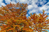 Brilliant Orange Fall Foliage on a Bald Cypress Tree in Texas. Fall or Autumn Background. — Stock Photo