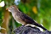 A Striking Pose of a Guira Cuckoo Bird (Guira guira), or A Puffy Fluffy Bird with Orange Beak — Stock Photo